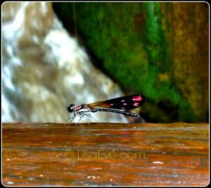 Maya Dragonfly